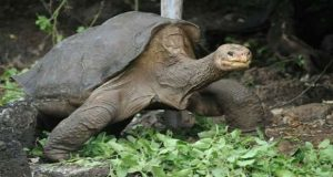 Body of 'Lonesome George' returned to Galapagos Islands
