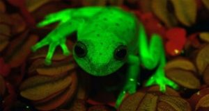 First fluorescent frog unearthed in Argentina