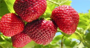 Strawberry Can Prevent Alzheimer Disease: Research