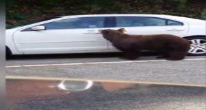 Bear Opens Couple's Car Door