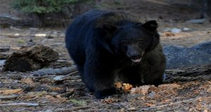 Bear Smashes Sport Utility Vehicle In Colorado