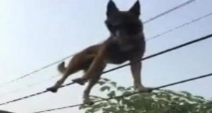 Dog Walks On Tightrope In Owner's Garden