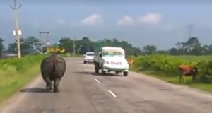 Rhino Chases Down Cars On Assam Road