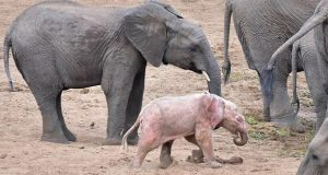 Rare Pink Elephant Swims With Herd In South Africa