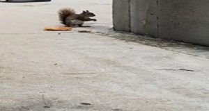 Atlanta Pizza Squirrel Challenges New York's Pizza Rat