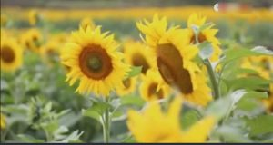 Millions of Sunflowers Attract Tourists in China