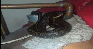 Man Finds Exotic Snake Coiled Around Boiler