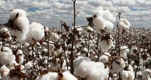 FBR Suggests Govt To Impose Sales Tax on Cotton Seed