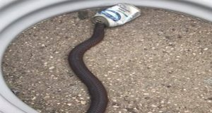 Rescuer Saves Snake with Head Stuck in Soft DrinkCan