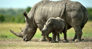 Hope For The Nearly Extinct Southern White Rhino Yet