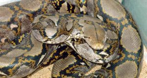 Giant Python Swallowed Woman In Indonesia