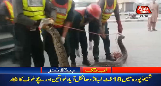 18 feet Long Python Discovered in Sheikhupura