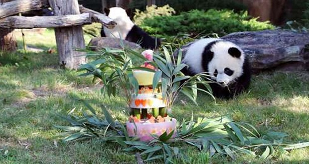 Panda Cub's First Birthday in French Zoo